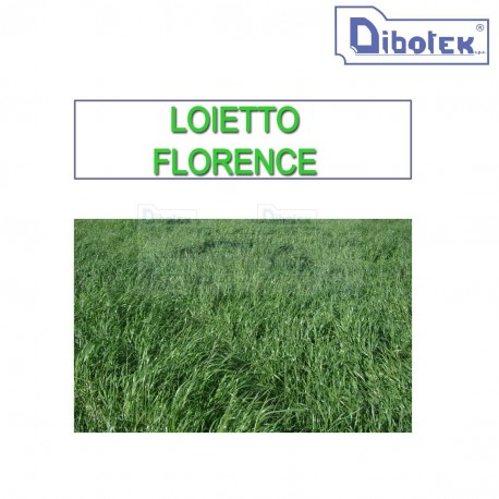 Loietto Diploide Florence Kg. 25